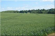 TL5135 : Wheat field by N Chadwick
