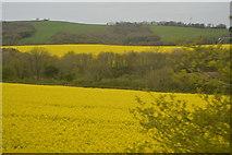 SX3358 : Oilseed rape by N Chadwick