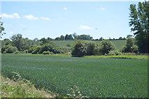 TL5234 : Wheat field by Debden Water by N Chadwick