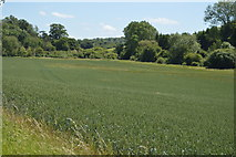 TL5334 : Wheat, Debden Water Valley by N Chadwick