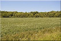 TL5334 : Oilseed rape and Waterlane Plantation by N Chadwick