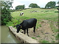 SP6687 : Cattle grazing in the Laughton Hills by Christine Johnstone