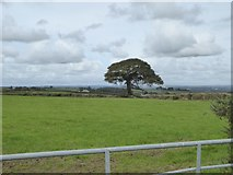 SX5598 : Lone tree in hedge south of Westacombe by David Smith