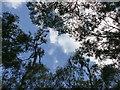 SK6267 : Sky seen through the birch wood canopy by Graham Hogg