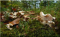 NS3984 : Wood Hedgehog Fungus by Lairich Rig