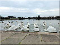 TQ6200 : Mute Swans on Lake in Princes Park by PAUL FARMER