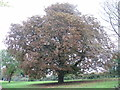 TL0452 : Unhappy Horse Chestnut at Clapham Park by M J Richardson