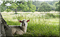 ST5016 : Sheep, Montacute Park by Rossographer