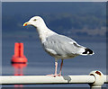 NS3274 : Seagull at Port Glasgow : Week 39