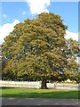 TL0549 : Horse Chestnut tree with leaf-miner by M J Richardson