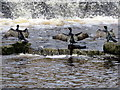 SJ4065 : Three cormorants by the salmon steps by John S Turner