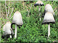 SP9313 : Toadstools at College Lake by Chris Reynolds