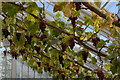 TL5238 : Grapes in the glasshouses, Audley End by Christopher Hilton