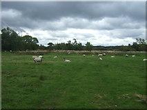 SK0425 : Sheep, Newton Bridge by JThomas