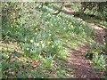 SX7873 : Daffodils near Yeo Farm by Derek Harper
