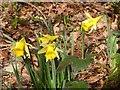 SX7873 : Wild daffodils near Yeo Farm by Derek Harper