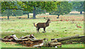 TQ1972 : Another Stag in Richmond Park by Des Blenkinsopp