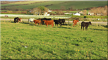 NS2006 : Cattle at Lands of Turnberry by Billy McCrorie