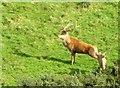 SE8984 : Red  Deer  Stag  in  Kirk  Dale by Martin Dawes