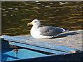 SJ4065 : Sunbathing by the River Dee by John S Turner