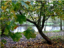 H4772 : Tree and fallen leaves, Campsie by Kenneth  Allen