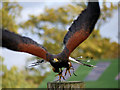 SE6083 : Harris Hawk Taking Off at NCBP, Duncombe Park by David Dixon
