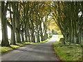 NS8942 : Beech trees, Bonnington by Alan O'Dowd