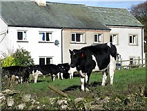 NY2536 : Terraced houses & cows, Uldale by Andrew Curtis