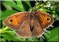 SZ5194 : Meadow Brown Butterfly by Steve Daniels