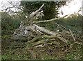ST5464 : A fallen tree near Winford by Neil Owen