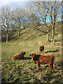 NY7209 : Highland cattle in Thorn Gill by Karl and Ali