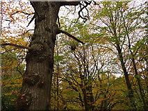 NZ1455 : Squirrel's drey in Pontburn Wood by Robert Graham
