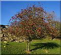 SE8059 : Apple tree at Mount Pleasant Farm by Ian S