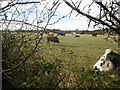 SY8985 : East Holme, cattle grazing by Mike Faherty