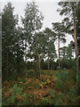 TL8092 : Eucalyptus in Thetford Forest by Hugh Venables