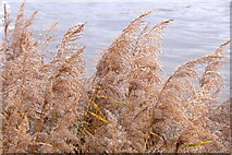 TQ3979 : Common Reed (Phragmites australis) beside the Thames at North Greenwich   by Mike Pennington