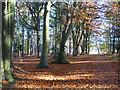 SU8966 : Ride under beech, Swinley Forest by Robin Webster