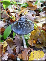 TQ9457 : Magpie ink cap, Sharsted Wood, near Doddington : Week 47