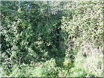 ST9357 : Through the hedgerow with difficulty [2] by Michael Dibb