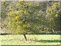 TF0420 : Parasitised tree by Bob Harvey