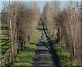 SK6731 : Avenue of poplar trees leading to Vimy Ridge Farm by Mat Fascione