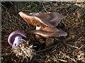 NT0776 : Wood Blewits : Week 48