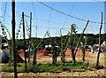 TQ7819 : Hop growing demonstration, Hurst House fields, Sedlescombe by Patrick Roper