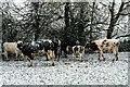 TF3593 : Snow-strafed cows : Week 48