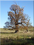 SO8843 : Tree in Croome Park by Philip Halling