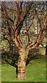 ST5973 : Cherry tree, Castle Park by Derek Harper