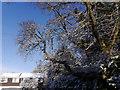 SO9194 : Oak Tree View : Week 49