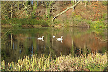 NS2209 : Three Swans at Culzean by Billy McCrorie