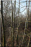 SX9066 : Ash saplings, Nightingale Park by Derek Harper