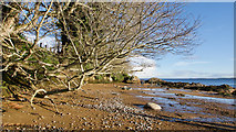 NH7358 : Tree overhanging Rosemarkie Bay, Black Isle by Julian Paren